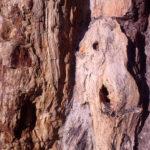 Árbol fósil, detalle. Hacinas. Burgos